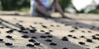 Tortugas desovan en Jalisco