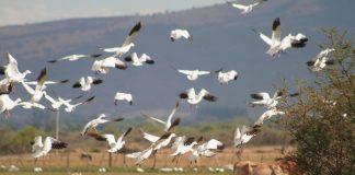 Aves, gansos en Laguna de Sayula