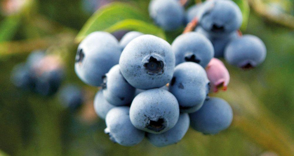 Mora azul, berries