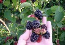 Frambuesas, berries