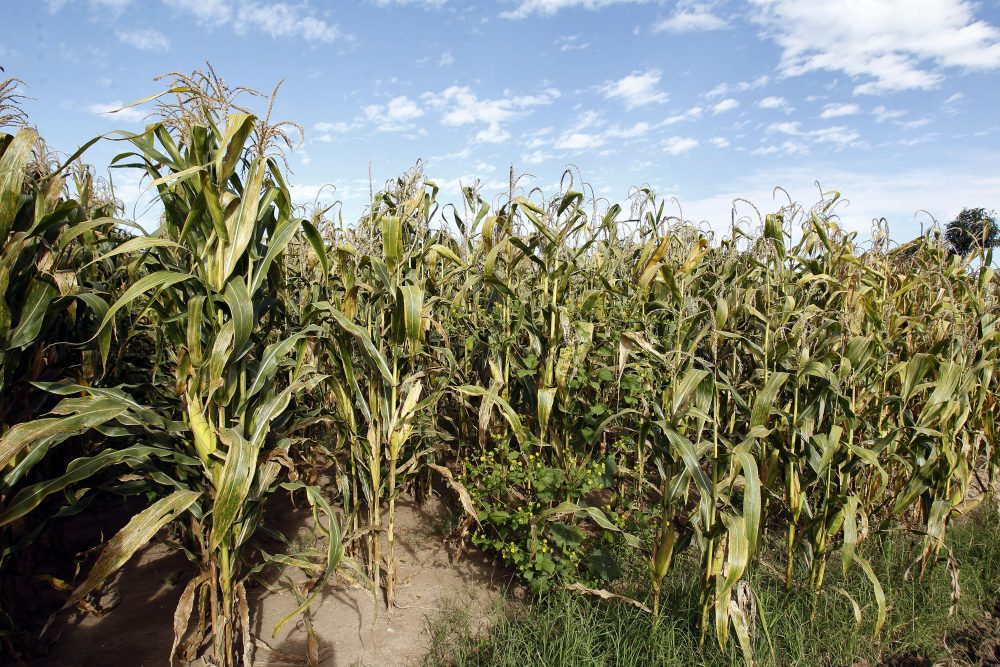 Plantío de maíz