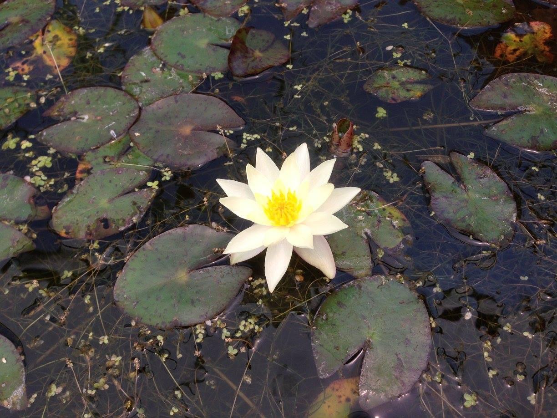Flor de nenufar en Lago de Chapala