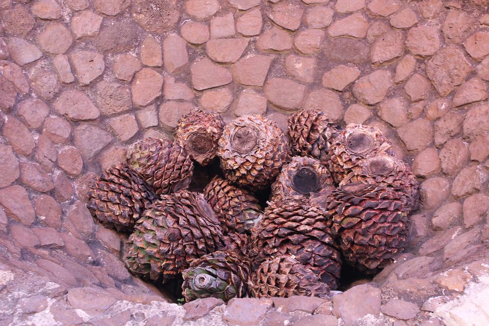 Antiguas técnicas de creación del tequila en el Munat