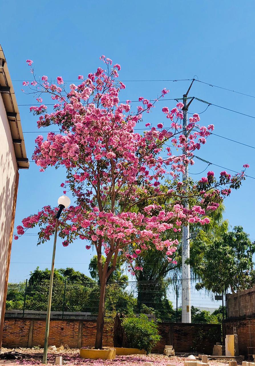 Rosamorada (Tabebuia rosea) en el Centro Universitario de la Costa_Foto Tahamara Esquivel (1)